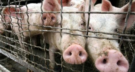 Нам угрожает свиной грипп?