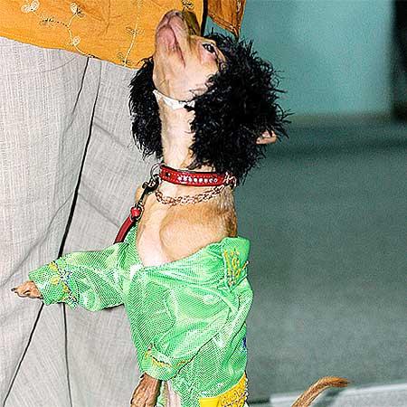По словам активистов Общества защиты животных, этот танец в стиле диско приводит в восторг всех зрителей.