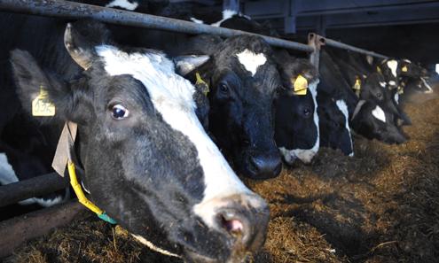 Коровы спасли Битимский совхоз от кризиса