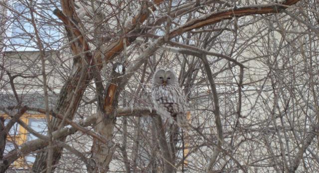 Сова сидит в ветвях рябины близ дома на Ленина, 37. Ее природный камуфляж помогает ей обманывать ворон, когда она неподвижна.