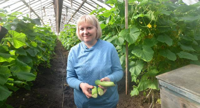 В этом году в совхозе «Первоуральский» сняли уже 10 тонн огурцов. Урожай здесь продолжат снимать до сентября.
