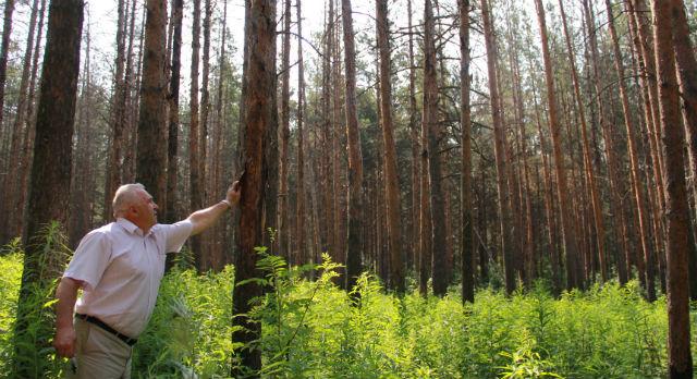 Михаил Лимонов показывает, что короед уничтожает сосны на месте пожара изнутри.