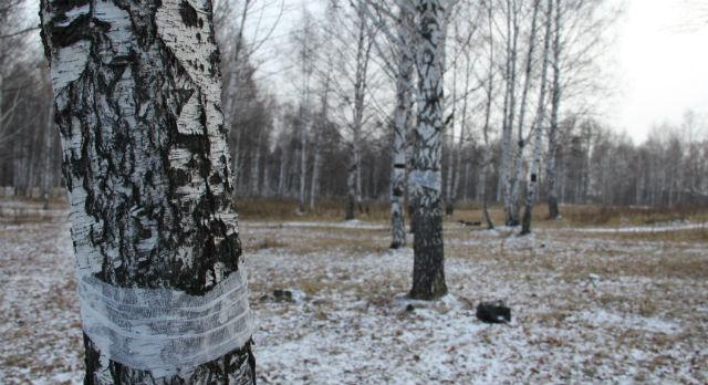 """Около 30-ти деревьев активисты движения """"Крансные тополя"""" успели перевязать бинтами в ходе акции.      Против чего протестовали молодые люди — они понимают очень приблизительно"""