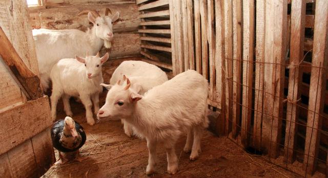 Юные козлята почти не видят своего отца, козла Якова — тот коротает дни в загоне с верблюдами