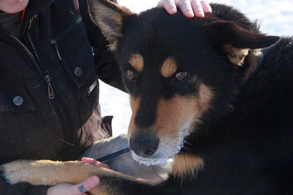 Пес Бумер Гуляет отдельно от остальных собак Фото Анны Неволиной