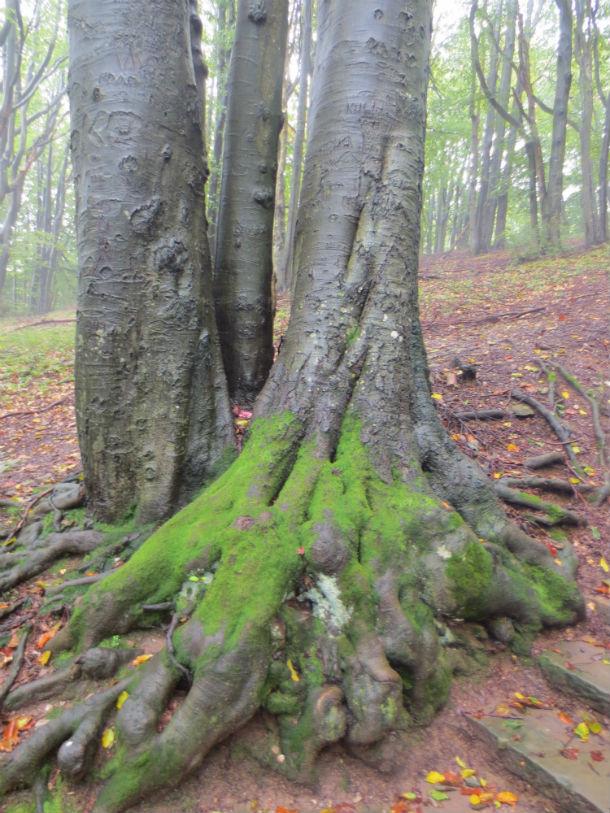 Выпростанные из-под земли корни деревьев-великанов Фото предоставлено Ольгой Варгановой
