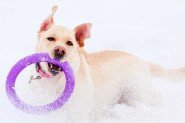puller_dog_toy