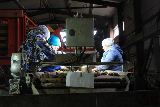 """Работники сельхозкооператива """"Битимский"""" перебирают остатки картофеля. Бракованные овощи — на корм животным. Крупный картофель фасуют и отправляют на продажу, мелкий оставляют на семена Фото Анны Неволиной"""