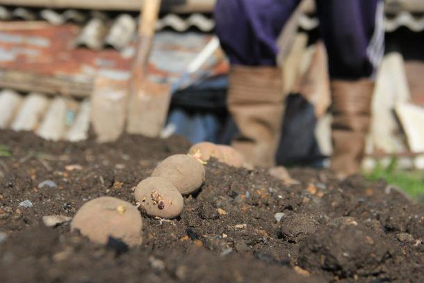 Народные приметы в Первоуральске уважают и говорят: сажать картофель лучше при растущей Луне Фото Анны Неволиной