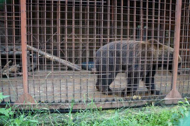 Медведю Балу совсем недолго осталось ютиться в тесной клетке Фото Ольги Хмелевой