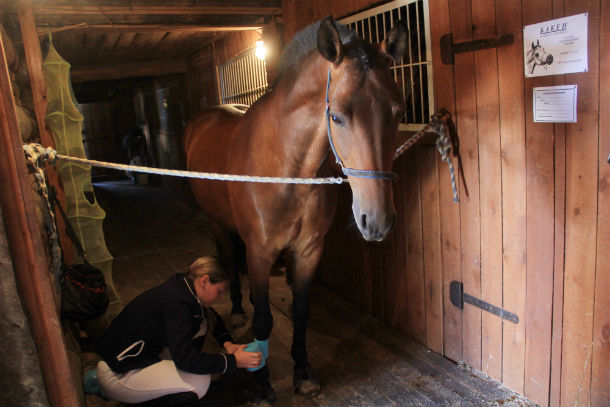 Бриза готовят к соревнованиям. Подпольная кличка коня — Летающий Пони. За низкий рост и удивительную способность высоко прыгать Фото Анны Неволиной