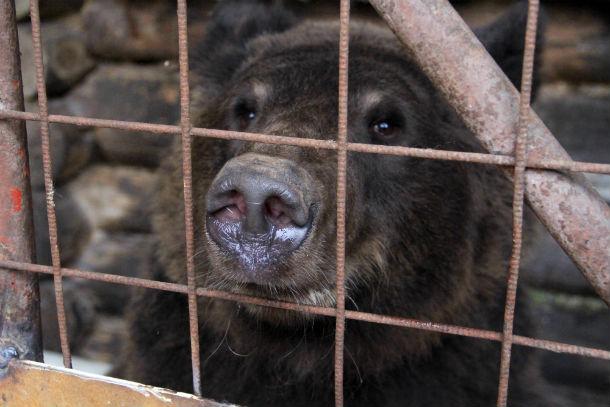Медведь Балу уже дважды  пытался залечь в спячку Фото из архива редакции