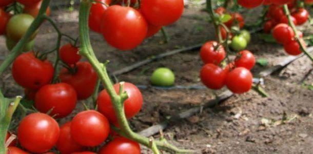 tomat-v-teplice