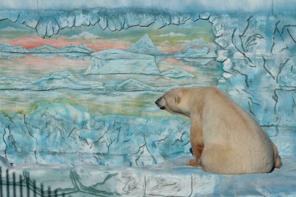 Руководитель Минприроды РФ предупредил обугрозе исчезновения белых медведей
